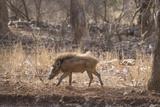 Wild Boar  Ranthambhore National Park  Rajasthan  India  Asia