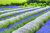Growing White and Blue Lavender (Lavandula)  Sequim  Olympic Peninsula