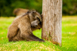 Baboon Resting  Johannesburg  South Africa  Africa