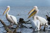 Great White Pelican (Pelecanus Onocrotalus)  Lake Naivasha  Kenya  East Africa  Africa