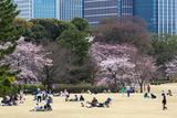 People Relaxing and Picnicking Amongst Beautiful Cherry Blossom  Tokyo Imperial Palace East Gardens