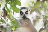 Ring-Tailed Lemur (Lemur Catta)  Isalo National Park  Ihorombe Region  Southwest Madagascar  Africa