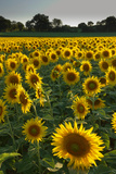 Sunflowers  Near Chalabre  Aude  France  Europe