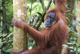 Female Orangutan (Pongo Abelii) in the Jungle Near Bukit Lawang  Gunung Leuser National Park
