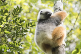 Diademed Sifaka (Propithecus Diadema)  a Large Lemur in Perinet Reserve