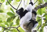 Indri (Babakoto) (Indri Indri)  a Large Lemur in Perinet Reserve  Andasibe-Mantadia National Park