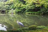 Stork at Hisagoike Pond in Summer  Kenrokuen  One of Japan's Three Most Beautiful Landscape Gardens