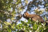 Red Bellied Lemur (Eulemur Rubriventer)  Ranomafana National Park  Madagascar Central Highlands