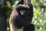Milne-Edwards Sifaka (Propithecus Edwardsi)  Ranomafana National Park  Madagascar Central Highlands