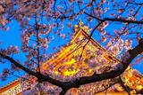 Sensi-Ji Temple in Tokyo at Night  Seen Through Cherry Blossom  Tokyo  Japan  Asia