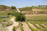 Vineyards in the Rioja Region  Spain  Europe