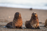 South American Sea Lion (Otaria Flavescens) Pups  Patagonia  Argentina  South America