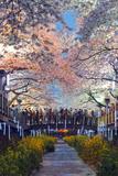 Asia  Republic of Korea  South Korea  Jinhei  Spring Cherry Blossom Festival