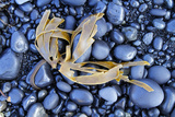 Kelp Washed Up on a Beach of Black Basalt Pebbles at Djupalonssandur  Snaefellsnes Peninsula