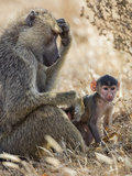 Kenya  Taita-Taveta County  Tsavo East National Park an Olive Baboon with Her Baby
