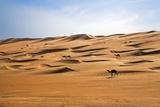 Oman  Wahiba Sands Camels Belonging to Bedouins Cross Sand Dunes in Wahiba Sands