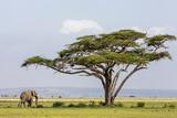 Kenya  Kajiado County  Amboseli National Park an African Elephant Approaches a Large Acacia Tree