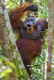 Indonesia  Central Kalimatan  Tanjung Puting National Park a Male Orangutan Calling
