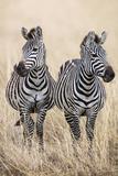 Kenya, Masai Mara, Narok County. Two Common Zebras on the Dry Grasslands of Masai Mara. Papier Photo par Nigel Pavitt