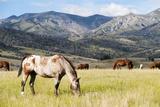 Horses Grazing at Bitterroot Ranch  Dubois  Wyoming  Usa