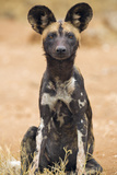 Kenya  Laikipia County  Laikipia a Juvenile Wild Dog Showing its Blotchy Coat and Rounded Ears