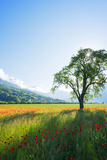 Europe  France  Haute Savoie  Rhone Alps  Poppy Field