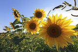 Sunflowers in Full Bloom During August in a Field Near Perugia  Umbria  Italy