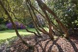 Trewithen Gardens  Near Truro  Cornwall  England