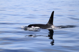 Orca Off the Coast of the Snaefellsnes Peninsula  Grundarfjordur  Iceland