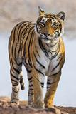 India  Rajasthan  Ranthambhore a Female Bengal Tiger