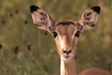 Impala Portrait, Ruaha National Park, Tanzania - an Alert Ewe Stares Directly at the Camera Papier Photo par William Gray