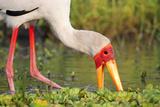Yellow-Billed Stork Feeding in a Backwater of the Rufiji River  Selous Game Reserve  Tanzania