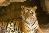 India  Rajasthan  Ranthambore Royal Bengal Tiger known as Ustad (T24) Resting in a Cool Cave