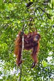 Indonesia  Central Kalimatan  Tanjung Puting National Park a Mother and Baby Bornean Orangutan