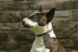 Bull Terrier 05