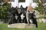 Bull Terrier 23