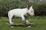 Bull Terrier 22