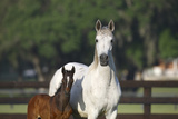 Hennessy Arabians 013