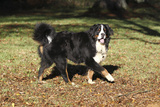 Bernese Mountain Dog 04