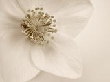 Hellebore Christmas Rose