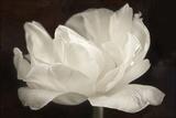 White Tulip III