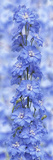 Blue Larkspur