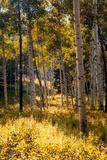 Aspen Trees in Edwards  Colorado