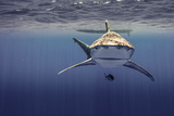 An Oceanic White Tip Shark Swims Above a Pilot Fish Off the Coast of Cat Island