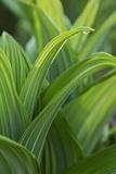 Water Drop on Green False Hellebore  Veratrum Viride  Leaf