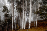 Clouds Form around Aspen Trees High in the Forest