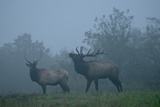 Elk in Morning Fog at Tennessee Wildlife Resources Agency  North Cumberland