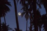 Moonrise in the Kapuaiwa Coconut Grove  Molokai  Hawaii