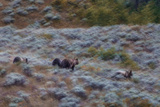 A Grizzly Bear with its Cubs at Yellowstone National Park