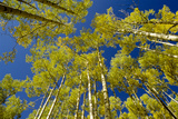 Trees Grow in the Telluride Area of Colorado